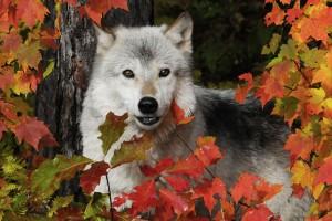 Westerhoff-Wolf