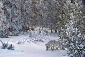 Wolf-in-snow-WEB